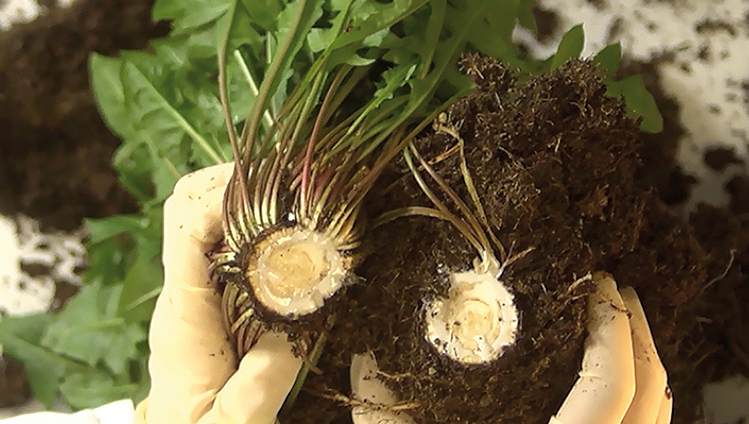 Natural rubber from dandelion roots reduces engine vibrations